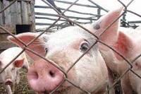 На Николаевщине снова зафиксирована вспышка африканской чумы свиней